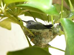 hummingbird mating