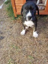 american pitbull terrier z hter deutschland bull arab x wolfhound dogs u0026 puppies gumtree australia free