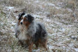lifespan of australian shepherd our dogs rocky creek farm aussies