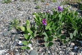 native alaskan plants wild harvests beach pea an enigmatic edible