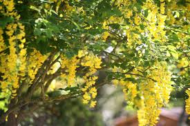 Hanging Flowers Tall Shrub With Yellow Hanging Flowers