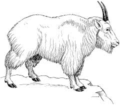 images for u003e how to draw a mountain goat art for practice
