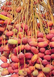 fresh dates fruit 18 best dates images on date palms palm trees and