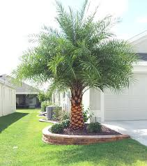 great different palm trees about palm tree landscaping ideas focal