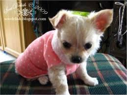 make a no sew sweater for a chihuahua puppy or small