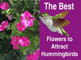 hummingbird flowers the best flowers to attract hummingbirds hummingbirds hq