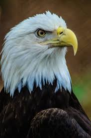 840 best the eagle queen of the skies images on pinterest bald
