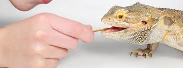 vegetables bearded dragon love vegetables bearded dragons