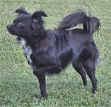 affenpinscher and chihuahua mixed breed dog pictures with bios 26