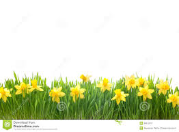 spring narcissus flowers in green grass royalty free stock