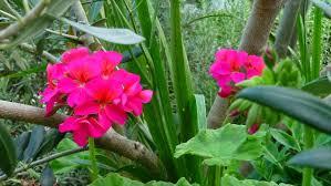growing ornamental plants growing geraniums
