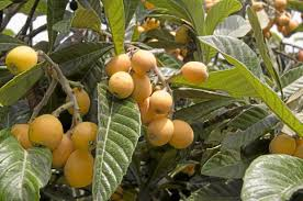 all about trees from loquats to cherries plus caring for cannas