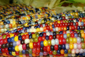 native american food plants this all natural native corn is bejeweled with brilliantly
