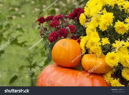 mums flower autumn harvested pumpkins burgundy yellow mums stock photo
