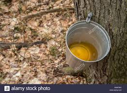 pail used to collect sap of maple trees to produce maple syrup in