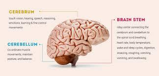 Image Of Brain Anatomy Human Brain Anatomy Components Of Human Brain With Images