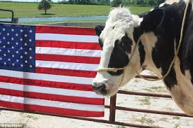 blosom a 6 foot 4 cow officially recognized by guinness world