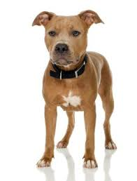information about dogs is raw beef liver good for my pit bull puppy