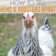 how to tell hens and roosters apart