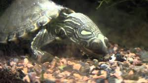 Texas Map Turtle Pearl River Map Turtles At The Tennessee Aquarium Youtube