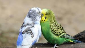 love birds images on wallpaperget com