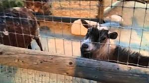 Pumpkin Patches In Bakersfield Ca by Petting Goats At Murray Family Farms Bakersfield California