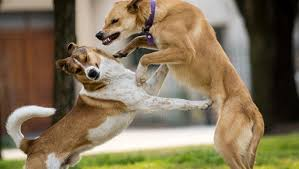 belgian shepherd vs pitbull fight 7 ways this horrific dog fight could have been avoided dogtime