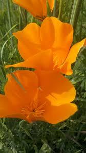 californias state flower veroniqque