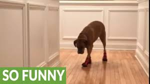 suzie the dog tries on her new boots youtube