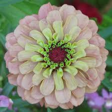 Zinnia Flower The Winner Is Zinnia Flower That Captures My Heart