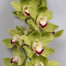 cymbidium orchid cymbidium orchids wholesale flowers uk wedding flowers