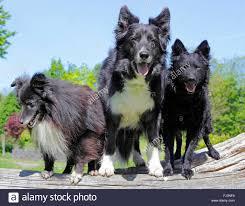 belgian shepherd or border collie sheltie years old shetland sheepdog stock photos u0026 sheltie years