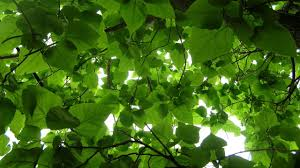 green tree leaves in the wind serenity and meditation
