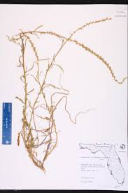 Map Of Southwest Fl Amaranthus Floridanus Species Page Isb Atlas Of Florida Plants