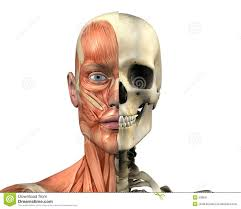 The Human Anatomy Muscles 355 Best Anatomy Heads And Necks Images On Pinterest Teeth