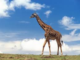 image photos of giraffe jpg dinopedia fandom powered by wikia