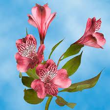 alstroemeria flower order select pink alstroemeria flowers global
