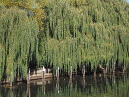 weeping willow aka salix babylonica or babylon willow tree royalty
