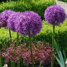 allium flowers allium bulbs for sale easy to grow bulbs