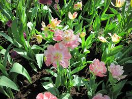flowers green garden photography tulips spring pink blooming