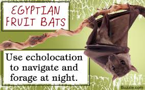 exceptionally enthralling facts about the egyptian fruit bat