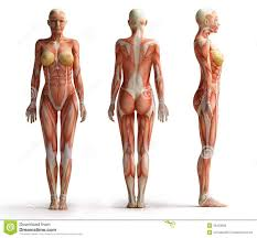 Woman Anatomy Video Anatomy Of A Woman U0027s Hip Muscle Muscular Function And Anatomy Of