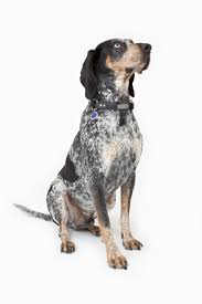 bluetick coonhound in florida breed info riverview florida veterinarians brandon lakes