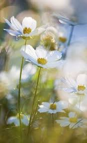 White Flowers Pictures - blue daisy u2026 blue daisey pinterest flowers gardens and flower