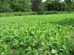 brassicas favorite late summer fall food plot planting