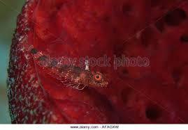 Strawberry Vase Sponge Blenny Caribbean Stock Photos U0026 Blenny Caribbean Stock Images Alamy