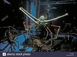japanese giant spider crab macrocheira kaempferi world s largest