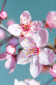cherry blossom flowers free images nature branch fruit petal food produce botany