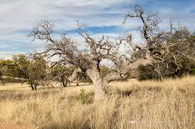 dead oak tree in grasslands santa mountain foothills