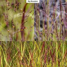 big bluestem andropogon gerardii type ornamental grass